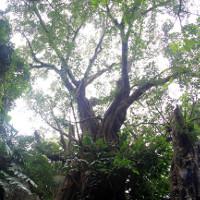 7 cây di sản trên núi Ngũ Hành Sơn