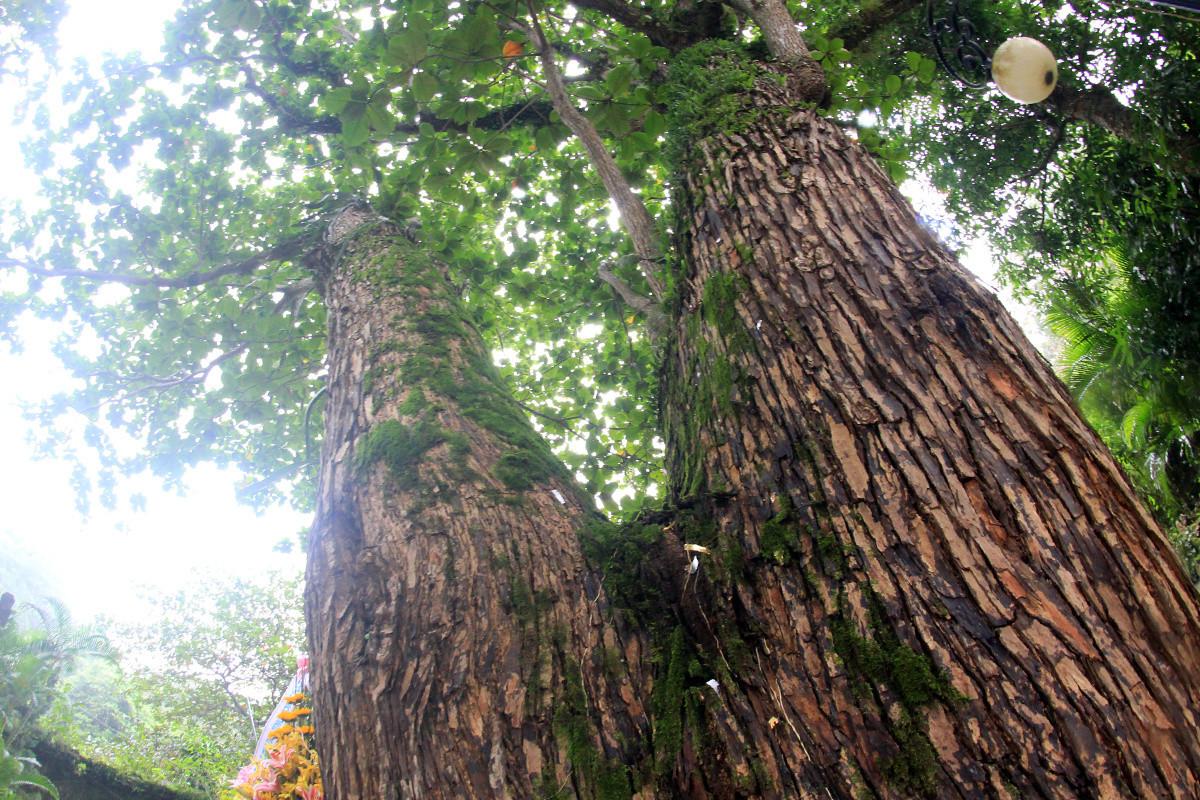 Một cây ước chừng 350 năm tuổi.