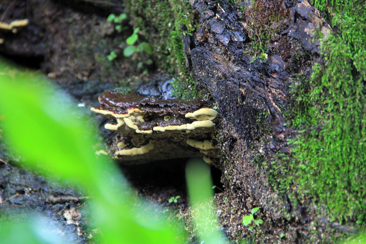 Phần gốc đầy nấm, rêu. Phần thân có nhiều cây nhỏ sống ký sinh.