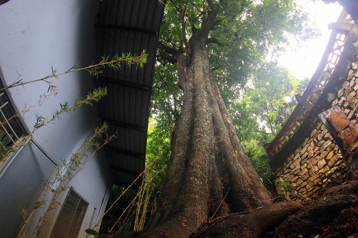 Phía sau chùa Tam Thai có cây thị hơn 200 năm tuổi.