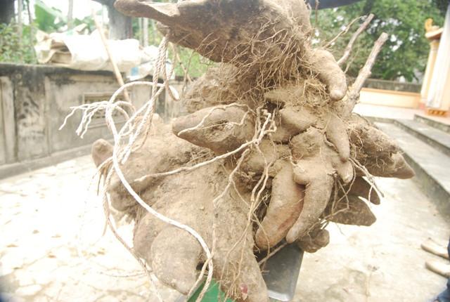 Đây là giống khoai phổ biến ở Nghệ An vì dễ trồng và cho năng suất cao.