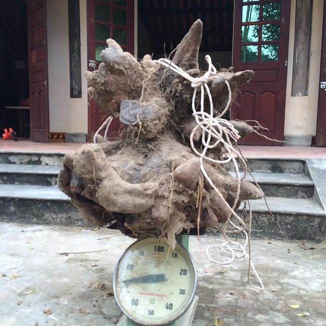 Củ khoai vạc rồng nặng tới 73kg.