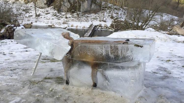Xác con cáo bị đóng băng trên sông Danube.