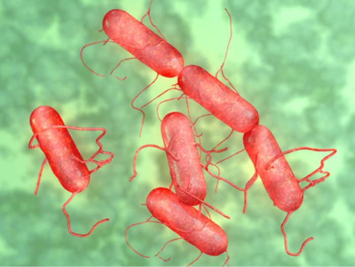 Vi khuẩn Salmonella