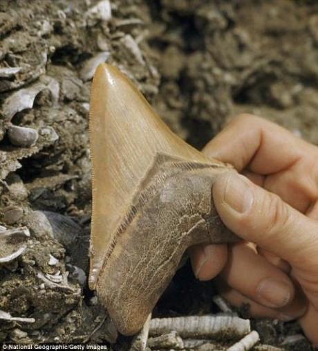 Mẫu răng hóa thạch từ 7 triệu năm trước là mấu chốt quan trọng của nghiên cứu.