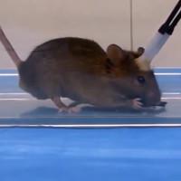 """Sốc với nghiên cứu biến chuột thành """"sát thủ máu lạnh"""""""