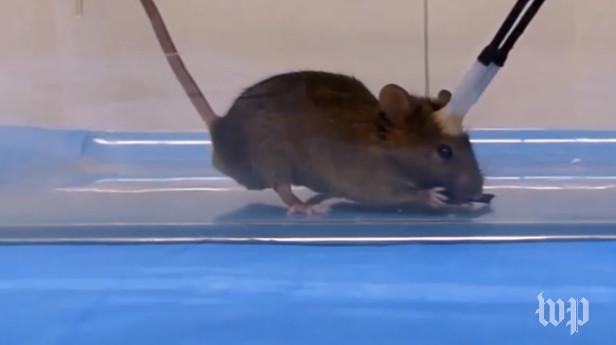 Con chuột cắn xé miếng mồi khi luồng ánh sáng chiếu vào bộ não.