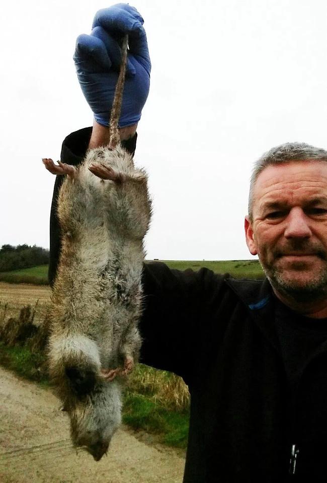 Con chuột dài gần 50cm bị bắt ở Anh.