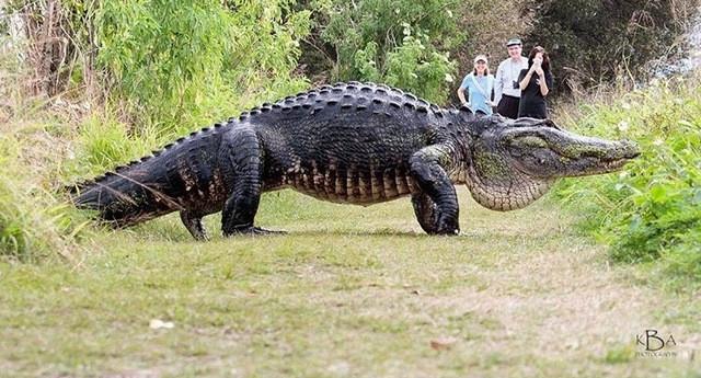 Con cá sấu bò ngang qua đoạn đường mòn trong một khu bảo tồn thiên nhiên.