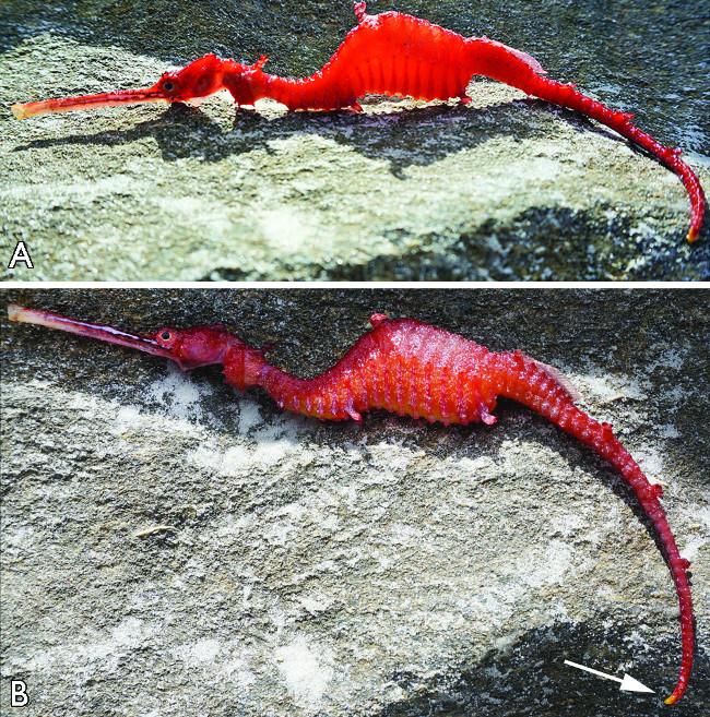 Rồng biển đỏ hiếm gặp.