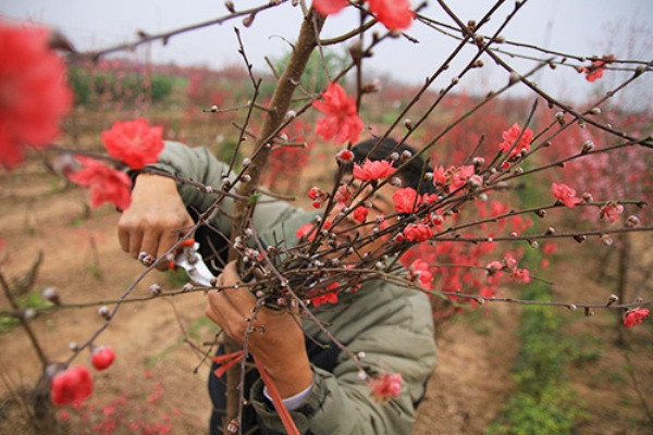 Cây mai, cành đào đã trở thành loài cây quen thuộc trong mỗi dịp Tết cổ truyền Việt Nam.