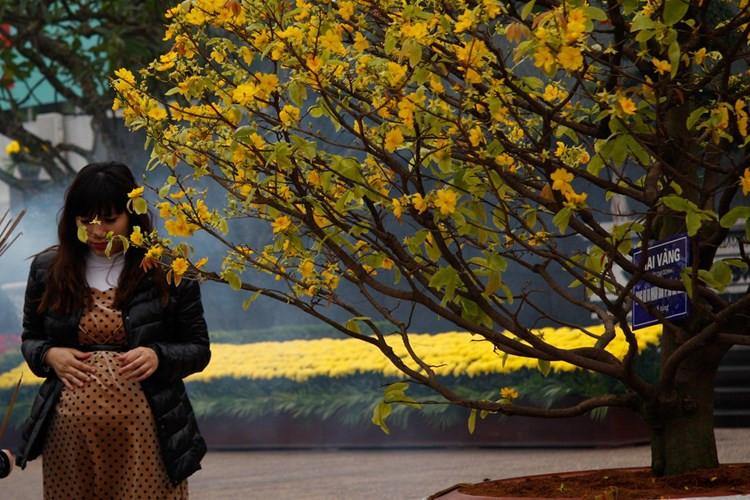Mai vàng miền Nam khoe sắc trên quảng trường Ba Đình.