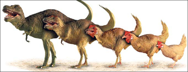 Gà có họ gần với khủng long bạo chúa nhất còn sống trên trái đất