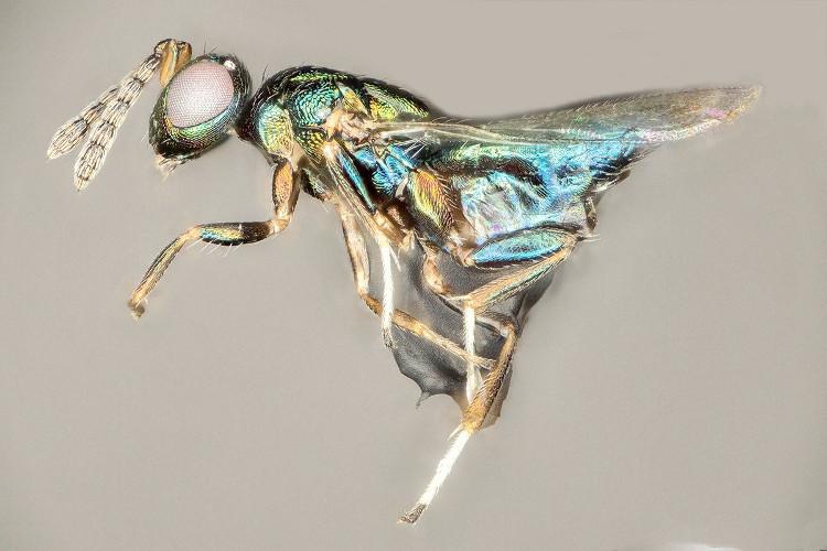 Loài ong kí sinh mới này có khả năng sống ngay trong đầu của vật chủ.