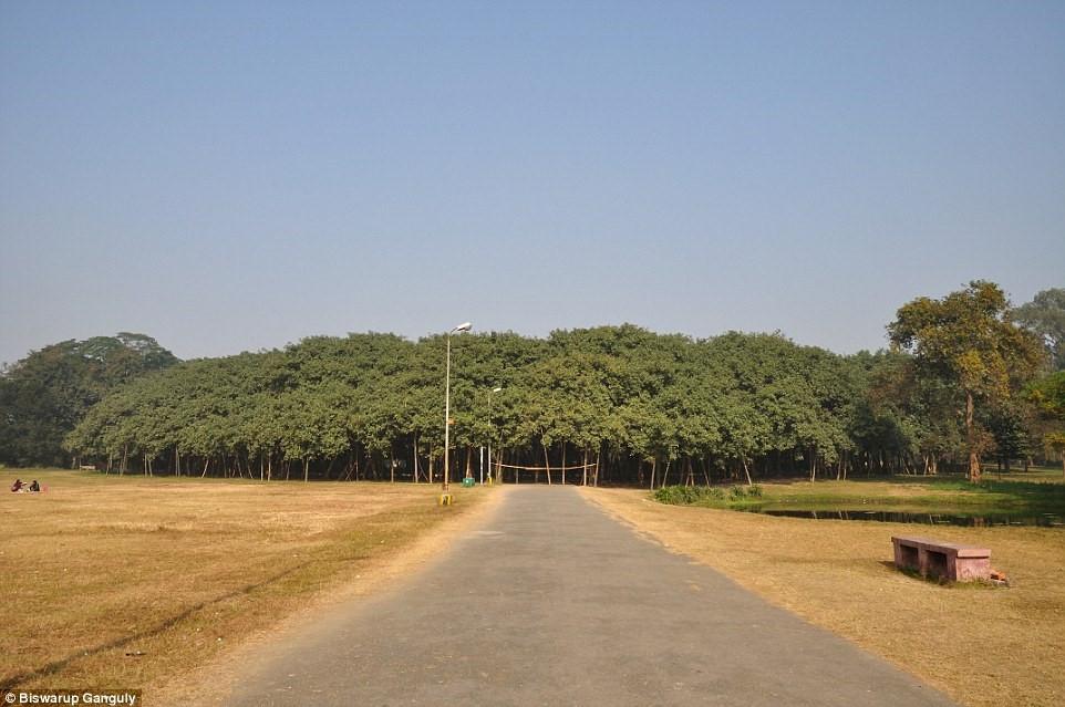 Cây cổ thụ 250 năm tuổi này được gọi là The Great Banyan.