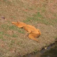 Phát hiện cá sấu màu cam gây sốt