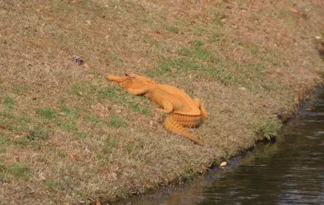 Cá sấu màu cam khiến cư dân mạng thích thú.