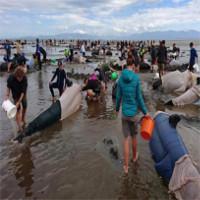 Video: Nỗ lực tuyệt vọng cứu 416 cá voi dạt vào bờ biển New Zealand