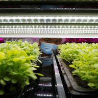 Trang trại trong nhà cho hơn 80 tấn rau sạch mỗi năm