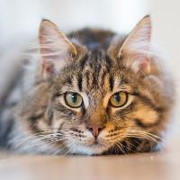 Lợi ích tiếng kêu grrr của loài mèo