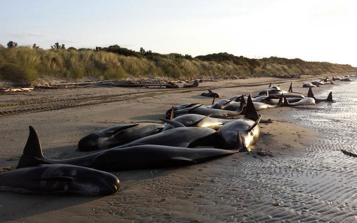 Hơn 400 cá voi dạt bờ hàng loạt ở New Zealand.