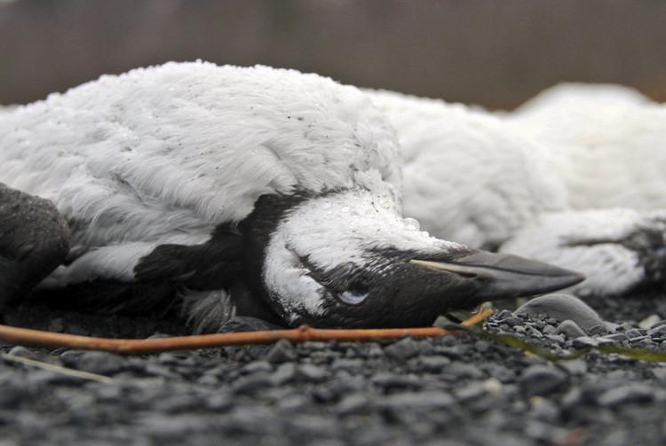 Con mồi di chuyển đến vùng biển khác dẫn đến chim bị đói, gầy yếu và chết hàng loạt.