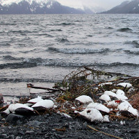 Nguyên nhân khiến hàng ngàn chú chim chết bất thường dọc bãi biển Alaska