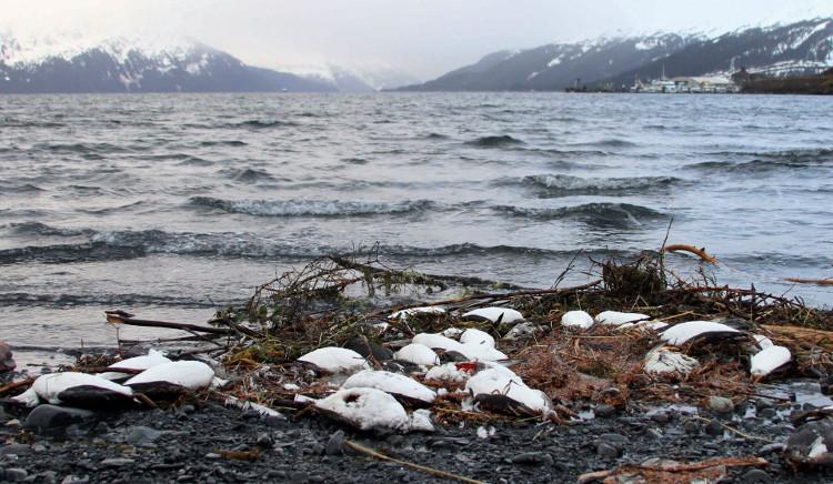 Chim chết la liệt trên bờ biển.