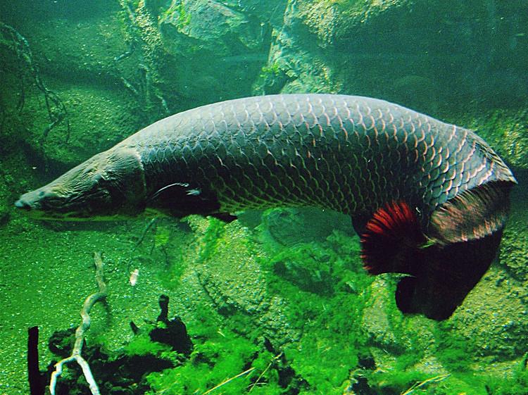 Cá hải tượng là chúng có khả năng thở bằng cách đớp không khí bên trên mặt nước.