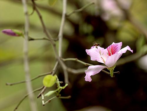 Cánh hoa ban mềm mại như cánh bướm, e ấp sau những đợt nắng đầu mùa.