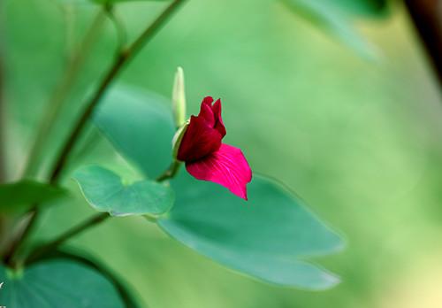 Hoa ban, loài hoa mang hương sắc của núi rừng Tây Bắc ngàn đời, có trong câu hát giao duyên, trong kí ức của người xa quê.