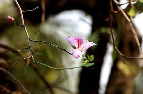 Hoa ban có nhiều loại nhưng được trồng phổ biến ở Hà Nội là những cây cho hoa tím pha trắng.