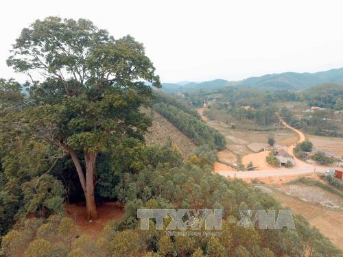 Cây Lim nghìn năm tuổi được công nhận là Cây di sản Việt Nam.