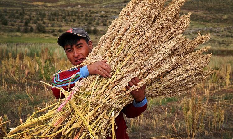 Các hạt diêm mạch được dùng rất linh hoạt và đã từng là nguồn lương thực chính của nền văn minh Andes cổ đại.