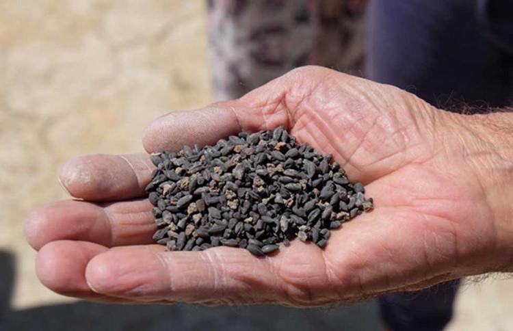 Các hạt giống được rải thành hình bán nguyệt.