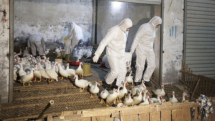 Các nhà chức trách y tế tiêu hủy vịt tại tỉnh Chiết Giang