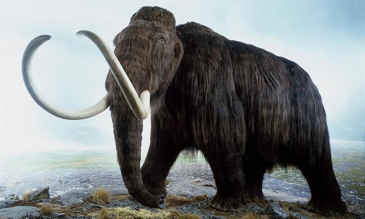 Voi ma mút đang đứng trước cơ hội hồi sinh trong bộ dạng của voi châu Á.