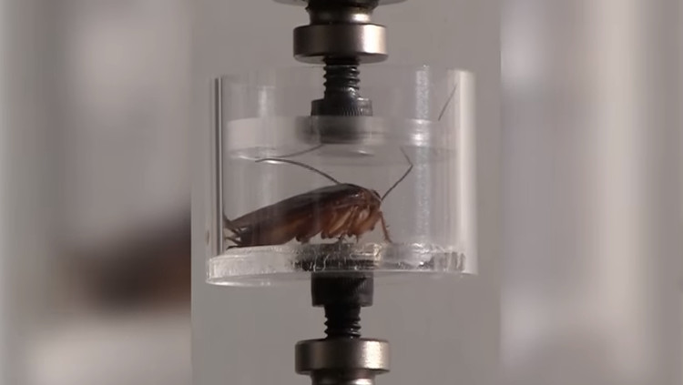 Gián là một trong số ít loài côn trùng có khả năng chịu đựng được áp lực cao.