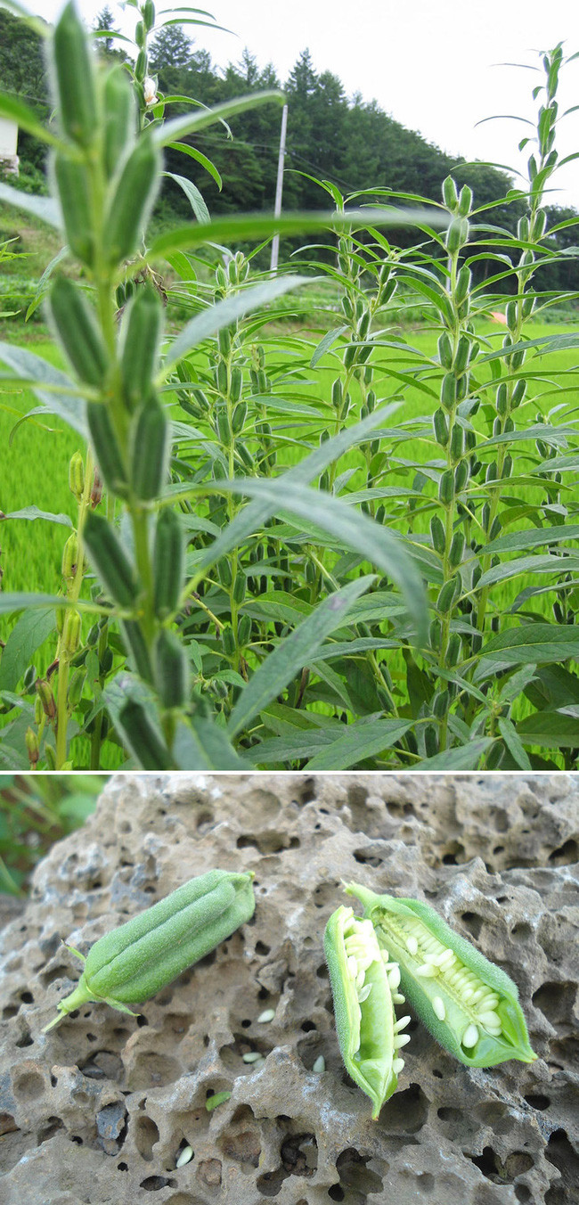 Không chỉ giàu vitamin, hạt vừng (mè) còn chứa lượng lớn các khoáng chất tự nhiên