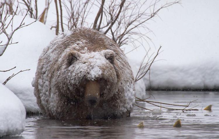 Quá trình ngủ đông giống như loài gấu đang mở ra hướng đi mới cho các nghiên cứu điều trị ung thư.