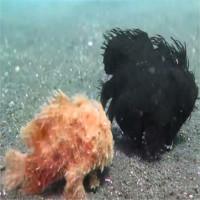 Video: Ngộ nghĩnh cảnh cá đi bộ dưới biển