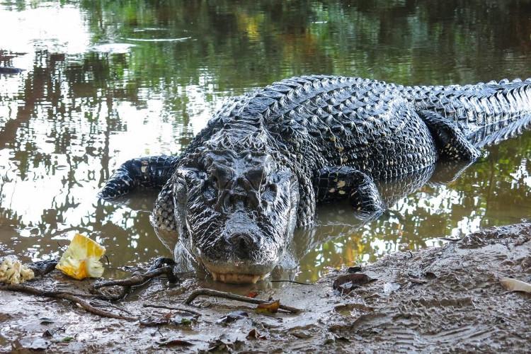 Cá sấu đen Caiman
