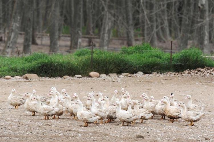 Tây Ban Nha tiêu hủy hơn 17.000 con vịt nghi nhiễm cúm gia cầm H5N8.