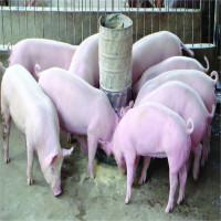 Phát hiện phương pháp mới giúp lợn miễn nhiễm với dịch bệnh