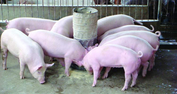 Dù gây tranh cãi song phương pháp chỉnh sửa gene sẽ giúp vật nuôi khỏe mạnh hơn.