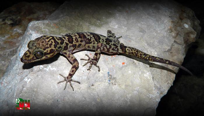 Loài thằn lằn mới này được phát hiện ở khu Bảo tồn thiên nhiên đất ngập nước Vân Long, tỉnh Ninh Bình