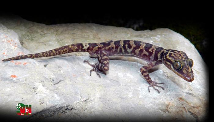 Thằn lằn chân ngón sơn - Cyrtodactylus soni