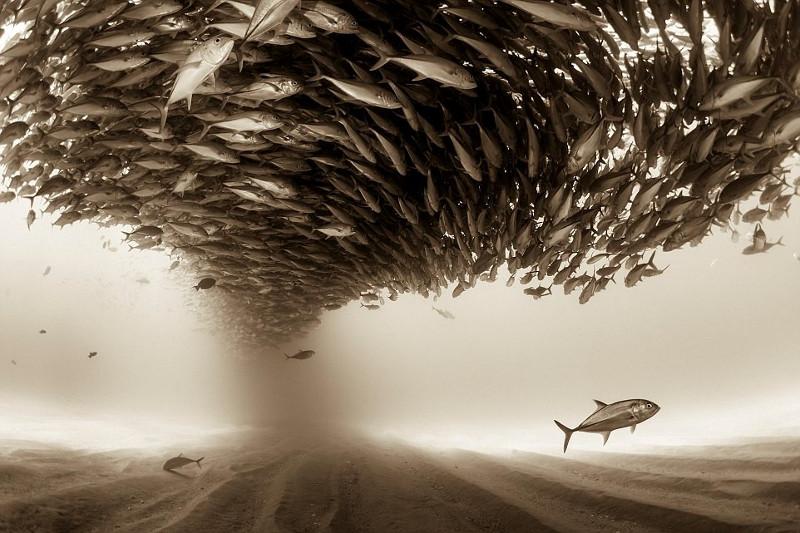 Một đàn cá tạo hiệu ứng lốc xoáy. Bức ảnh của Christian Vizl (Mexico).
