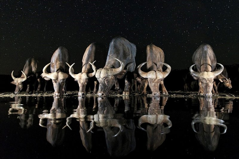 Đây là hình ảnh một đàn trâu uống nước vào lúc nửa đêm