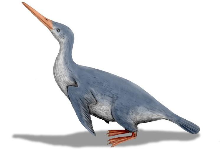 Chim cánh cụt khổng lồ mới được phát hiện cũng có dáng di chuyển lạch bạch đặc trưng của chim cánh cụt hiện đại.